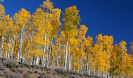 Nejtěžší živý organismus světa: V Utahu roste les z jednoho kořene