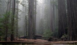 Lesní katedrály rezervace Redwood
