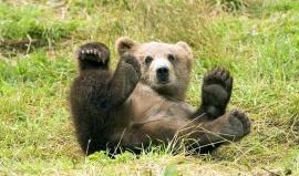 Kodiak. Ostrov, kde žije medvěd s obezitou třetího stupně