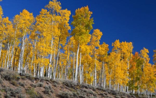 Topolový les Pando v americkém Utahj