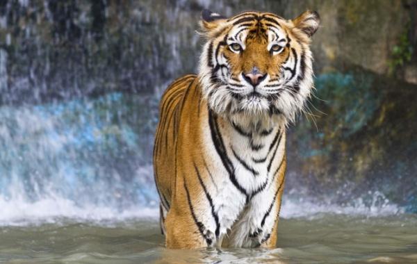 Tygr v Zoo v Buffalo