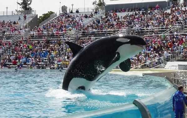Kosatka v bazénu v SeaWorld v San Diegu, Kalifornie - Amerika.cz