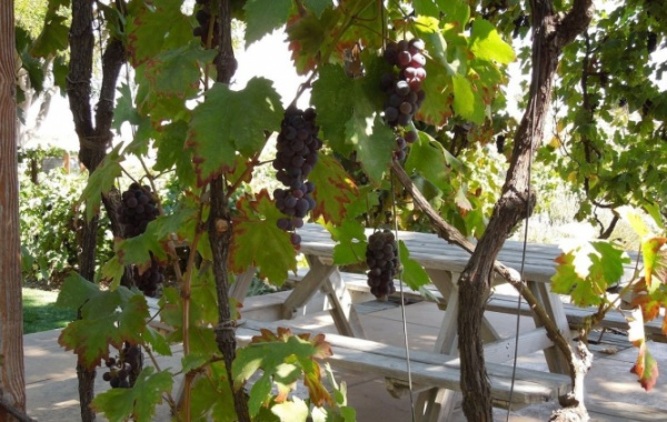 Paso Robles vinice