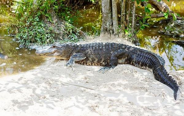 Za aligátory na Floridu!