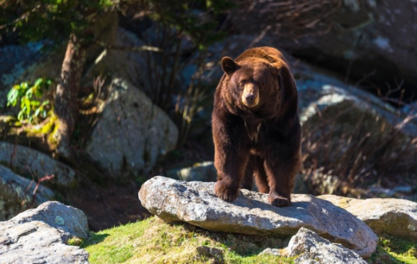 Hnědý medvěd v Blue Ridge