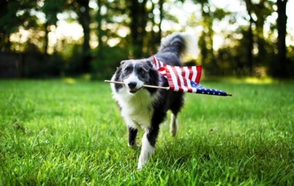 Pes s americkou vlajkou v puse