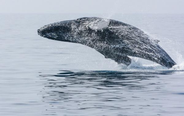 Honolulu - velryba