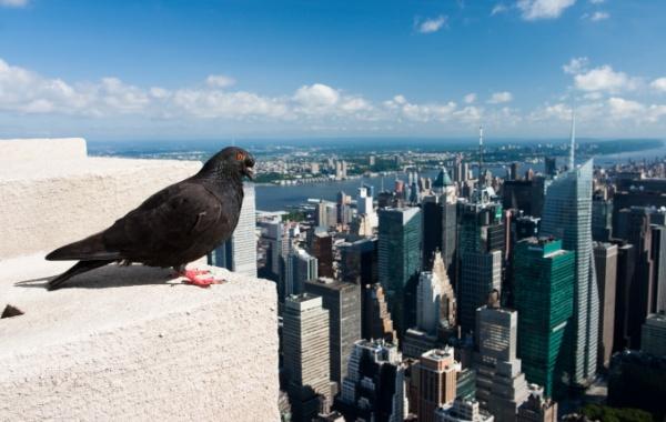 Holub na Empire State Building