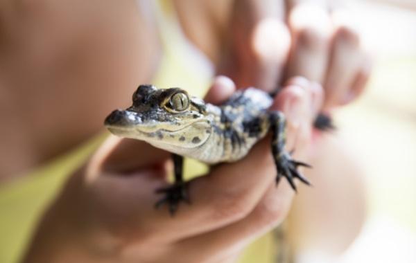 Everglades - mládě aligátora