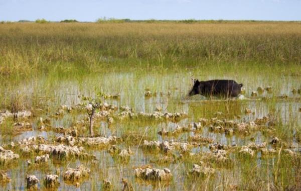 Everglades - prase divoké a delta řeky