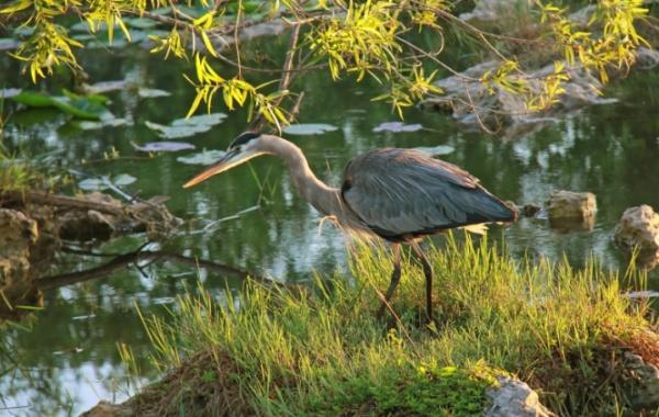 Everglades - volavka velká
