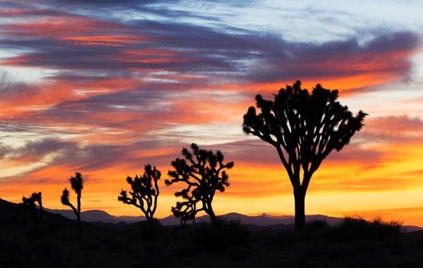 Joshua Tree při západu slunce