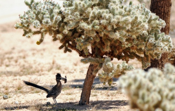 Zvířata v Joshua Tree