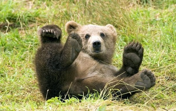 Aljaška medvěd na ostrově Kodiak
