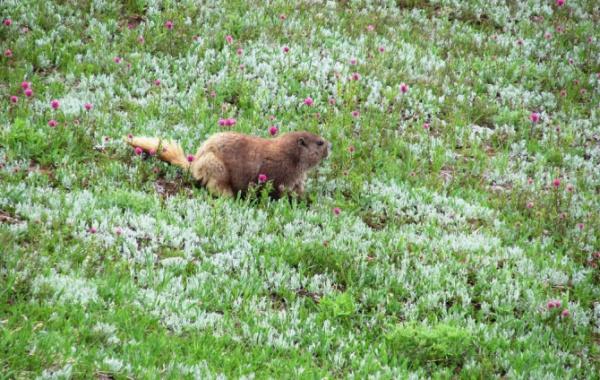 Olympic national park - svišť