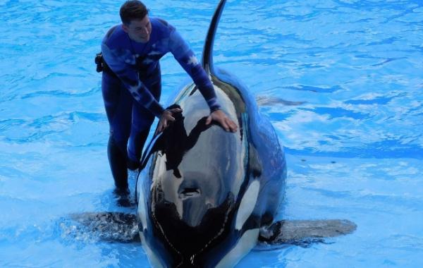 Krotitel a kosatka, SeaWorld San Diego, Kalifornie - Amerika.cz