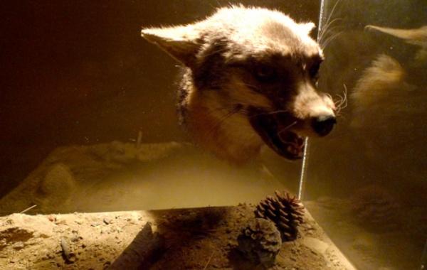Vlk z muzea Jurassic v LA