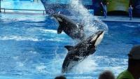 Blbnoucí kosakty v SeaWorld v San Diegu, Kalifornie - Amerika.cz