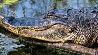 Hlava aligátora amerického v národním parku Everglades ve státě Florida v USA