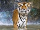 Tygr v Zoo v Buffalo, New York - Amerika.cz