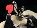 Valentýn slaví i tučňáci