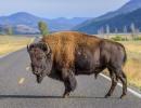 Bizon v Yellowstonu