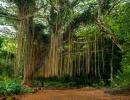 Nejstarší banyán v Americe na Havaji