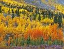 Podzimně zbarvené listí u Alaska Highway.