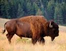 Rohatá monstra se pasou v Montaně Mají 1500 kg a 370 cm na délku