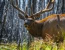Jeleni v Yellowstone
