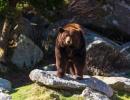 Hnědý medvěd v lesích a horách u silnice Blue Ridge Parkway v severovýchodní oblasti USA.