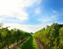 Niagara Wine Trail, Buffalo, New York - Amerika.cz
