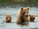 Tři medvědi grizzly brodící se vodou.